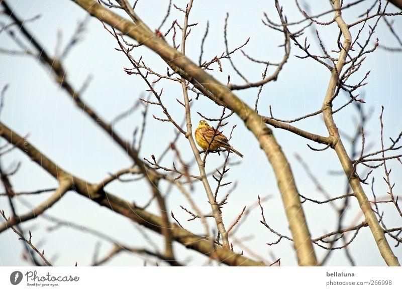 Federball Natur Himmel Wolkenloser Himmel Baum Sträucher Tier Wildtier Vogel 1 sitzen singen Ast Farbfoto Gedeckte Farben Außenaufnahme Menschenleer Morgen Tag