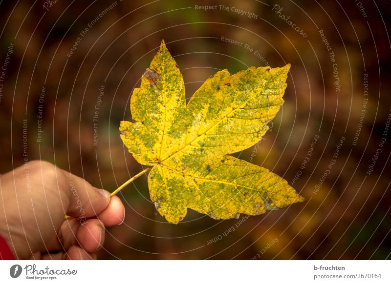 Herbstblatt Mann Erwachsene Hand Finger Umwelt Natur Pflanze Blatt Wald wählen festhalten gelb Glaube Religion & Glaube Stimmung Vergänglichkeit Herbstlaub