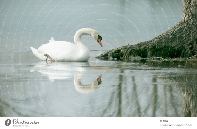 Spiegelwelten Umwelt Natur Tier Wasser Baum Baumstamm Wurzel Teich See Vogel Schwan 1 Blick Schwimmen & Baden ästhetisch frei natürlich schön Idylle Kitsch