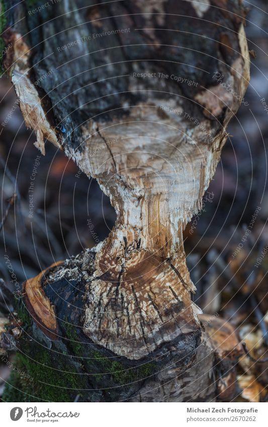 Makroaufnahme eines großen Baumes, der im Herbst von Bibern gekaut wurde. Essen Säge Zähne Umwelt Natur Landschaft Tier Wald bauen wild braun Desaster
