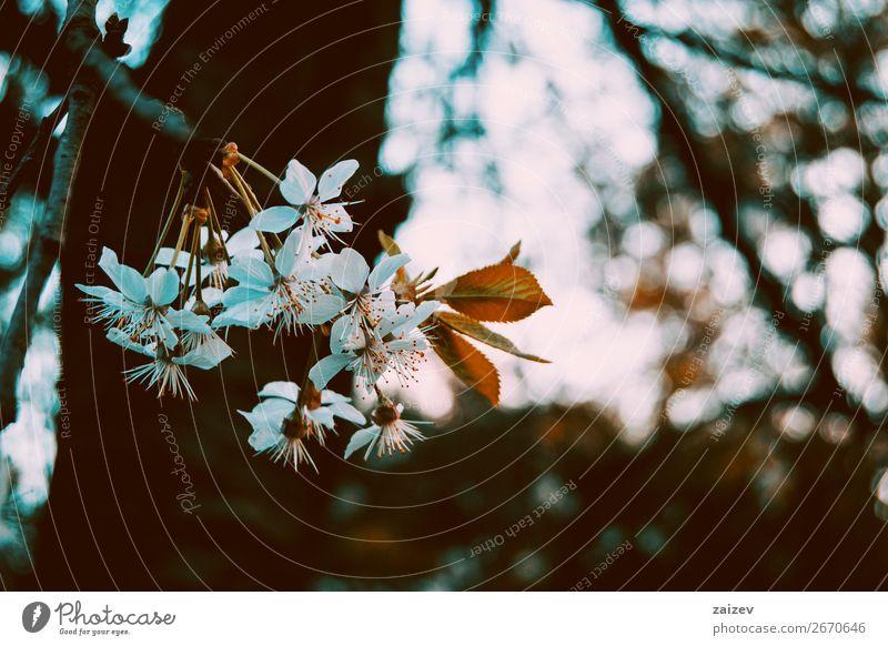 Weiße Blüten auf dem Zweig eines Malus pumila Frucht Apfel schön Duft Garten Natur Pflanze Frühling Baum Blume Blatt Park Wachstum frisch hell natürlich grün