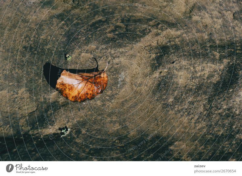 Ein Herbstblatt, das auf einem Stein liegt. schön Umwelt Natur Pflanze Wärme Baum Blatt Holz hell klein braun Einsamkeit Single herbstlich orange Jahreszeiten