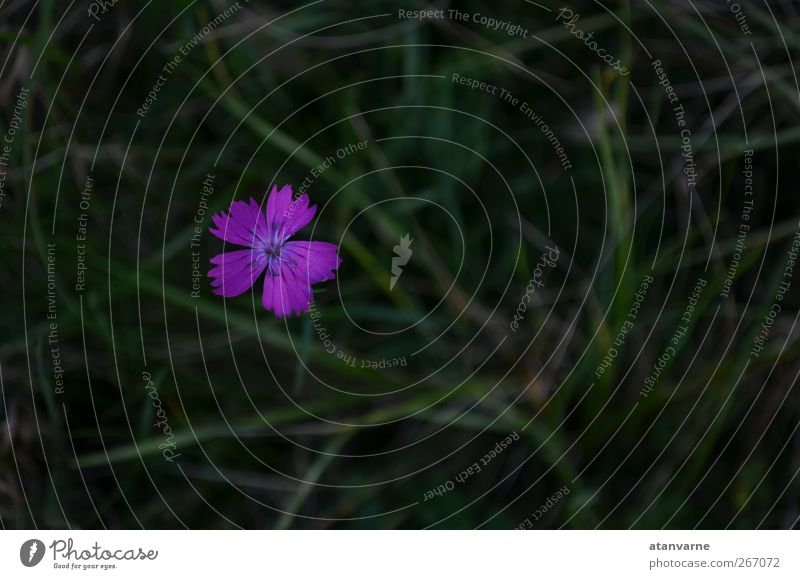 Karthäuser-Nelke Natur Pflanze Blume Blüte Wildpflanze Wiese Gelassenheit ruhig Außenaufnahme Nahaufnahme Menschenleer