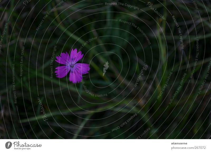 Karthäuser-Nelke Natur Pflanze Blume ruhig Wiese Blüte Gelassenheit Wildpflanze
