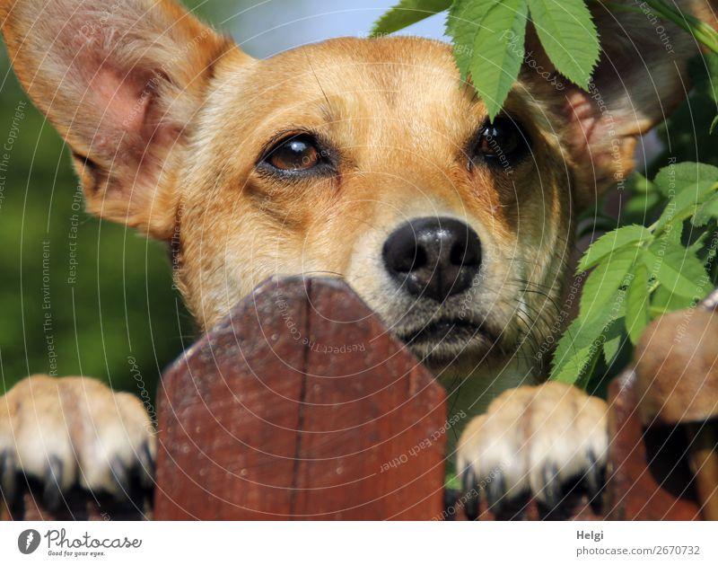 Kopf eines Mischlingshundes, der über den Zaun schaut Sträucher Blatt Garten Tier Haustier Hund Tiergesicht Fell Krallen Pfote 1 Holz beobachten Blick warten