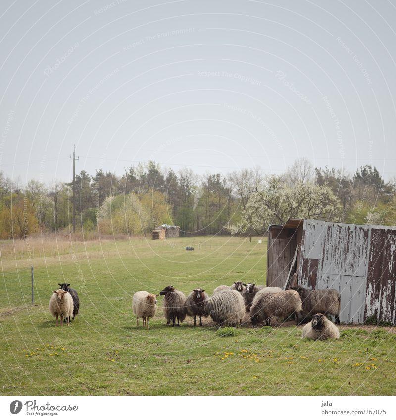 der denver clan Himmel Natur Baum Pflanze Tier Umwelt Landschaft Wiese Frühling natürlich Tiergruppe Schaf Wolkenloser Himmel Herde Nutztier Schafherde