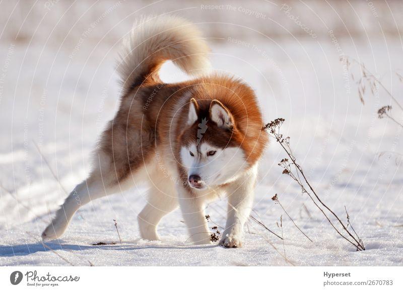 Roter Hund Husky im Schneefeld stehend in aggressiver Pose Freude Glück schön Gesicht Winter Sport Natur Tier Pelzmantel Haustier Aggression niedlich braun rot
