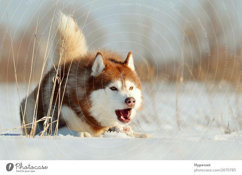 Aggressiver Hund liegt auf dem Schnee Winter Winter Outdoor Freude Glück schön Gesicht Sport Natur Landschaft Tier Park Wald Pelzmantel Haustier niedlich braun