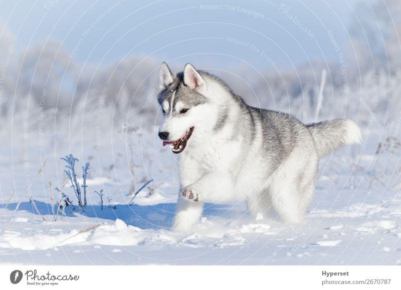 Nördlicher Schlittenhund, der im Winter im Schnee läuft. Freude Glück schön Gesicht Sport Natur Tier Himmel Gras Pelzmantel Haustier Hund niedlich weiß Gefühle