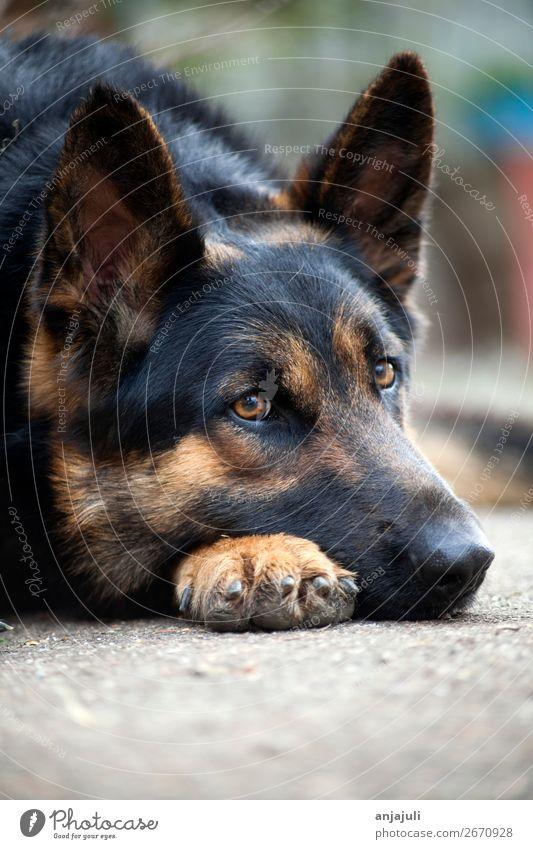Hund Deutscher Schäferhund liegt Tier Haustier liegen schlafen Traurigkeit Trauer Hundeschnauze Müdigkeit bewachen Freundlichkeit schwarz Hof Nase Wachsamkeit