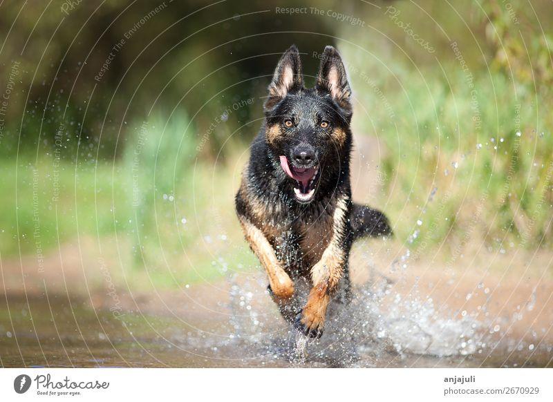 Hund Deutscher Schäferhund rennt im Wasser frontal Freude Strand Natur See Bach Fluss Bewegung Schwimmen & Baden springen Spielen Sommer Haustier Aktion