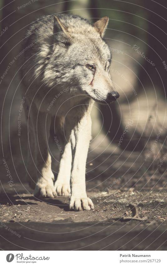 der böse Wolf schön weiß schwarz Bewegung grau Haare & Frisuren Freiheit braun Angst Erde elegant Kraft Wildtier groß gefährlich beobachten