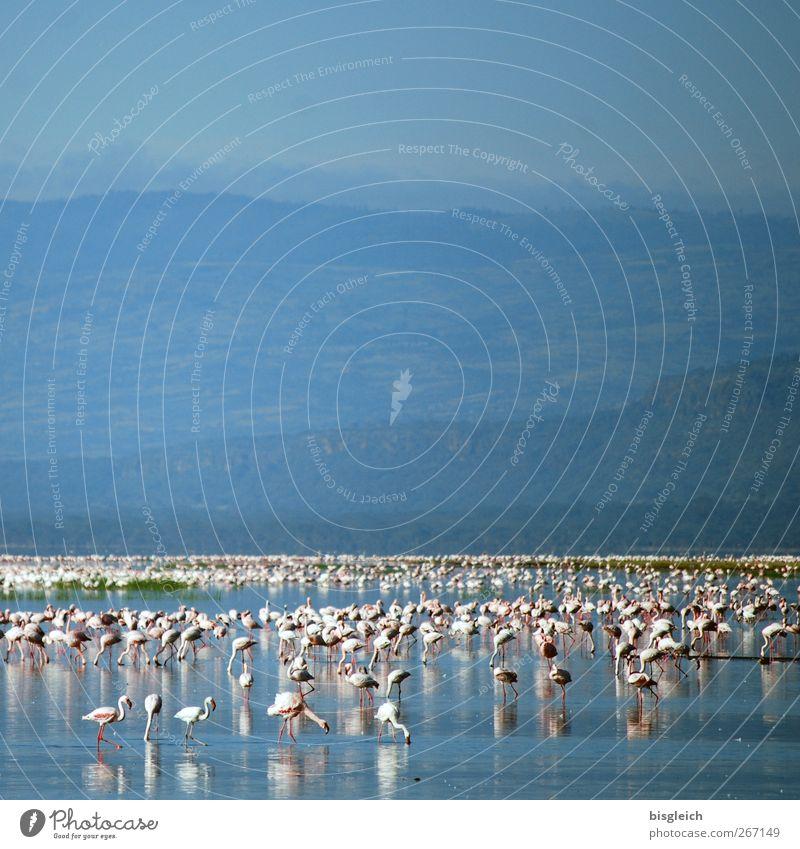 Flamingos See Lake Nakuru Lake Nakuru National Park Kenia Afrika Tier Vogel Schwarm blau rosa weiß Farbfoto Außenaufnahme Menschenleer Textfreiraum oben Tag