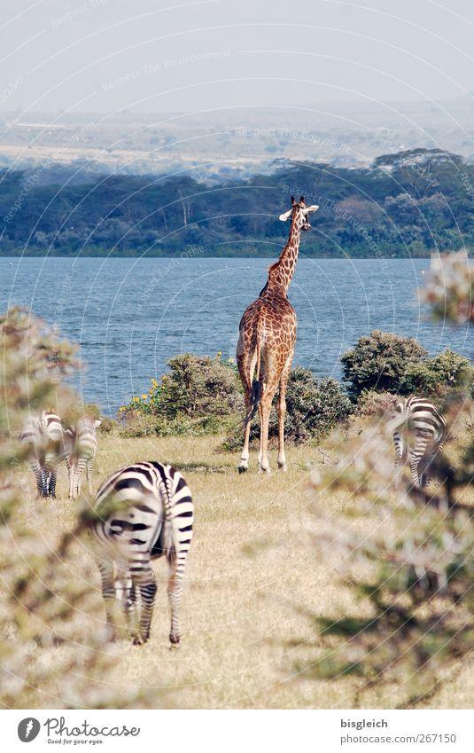 Wildlife Kenia Afrika Giraffe Zebra 4 Tier stehen blau braun Farbfoto Außenaufnahme Menschenleer Textfreiraum oben Tag