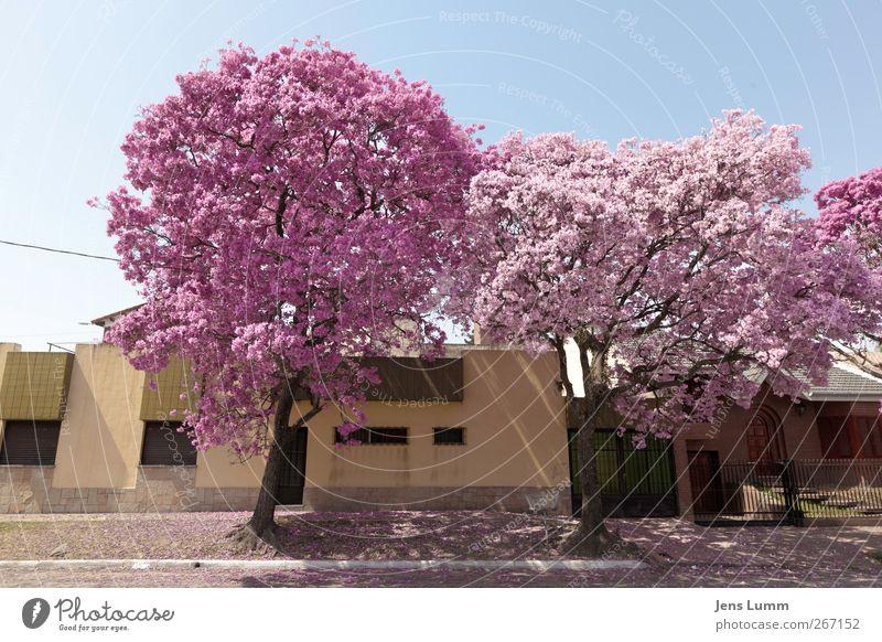 Cherry Blossom Girls Stadt blau rosa Tucuman Argentinien Südamerika Baum Blühend Frühling Straße Bordsteinkante Fassade mehrfarbig Außenaufnahme Menschenleer