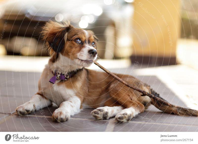 """""""Rowdy"""" Roddy Piper Hund Tier Spielen Tierjunges braun liegen Haustier Stock Südamerika Argentinien Kauen"""