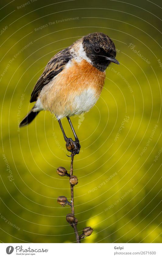 Schlanker Vogel auf einem schlanken Ast schön Leben Mann Erwachsene Umwelt Natur Tier Blume Moos Stein klein natürlich wild braun gelb weiß Schwarzkehlchen
