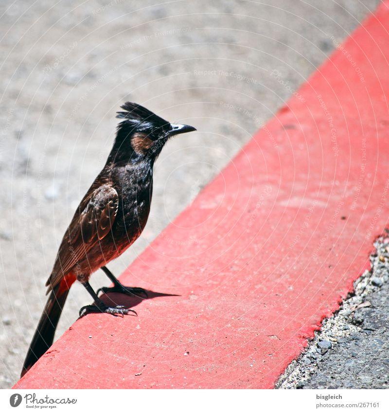 Bordsteinvogel II rot Tier grau Stein Vogel sitzen Beton