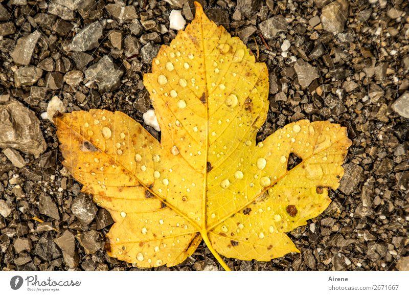 herbstliches Ahornblatt mit Regentropfen auf Kies Wassertropfen Herbst Klima Wetter Blatt Herbstlaub Tau liegen kalt nass natürlich Spitze unten braun gelb gold