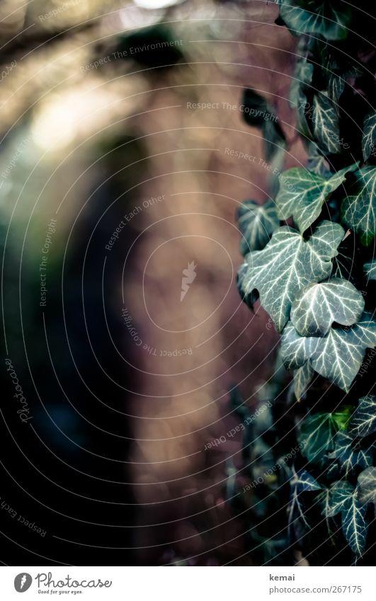 Kletterpflanze Umwelt Natur Pflanze Sonne Sonnenlicht Herbst Schönes Wetter Sträucher Blatt Grünpflanze Wildpflanze Efeu Wachstum dunkel grün Farbfoto