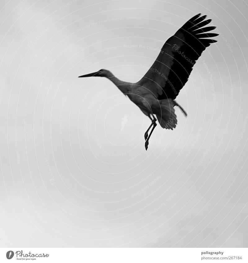 Vorsicht Tiefflieger! Luft Wolken Frühling schlechtes Wetter Tier Wildtier Storch 1 Freiheit Metallfeder Flügel Schnabel Feder Storchschnabel Schwarzweißfoto