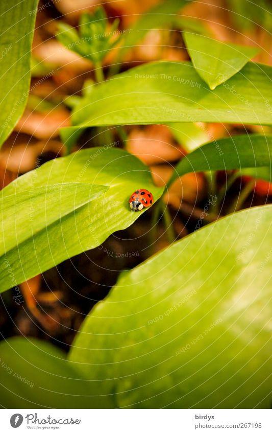 Marienkäfer auf Bärlauch Natur Frühling Pflanze 1 Tier krabbeln authentisch natürlich schön grün rot Zufriedenheit Wachstum Waldboden Blattgrün Glücksbringer