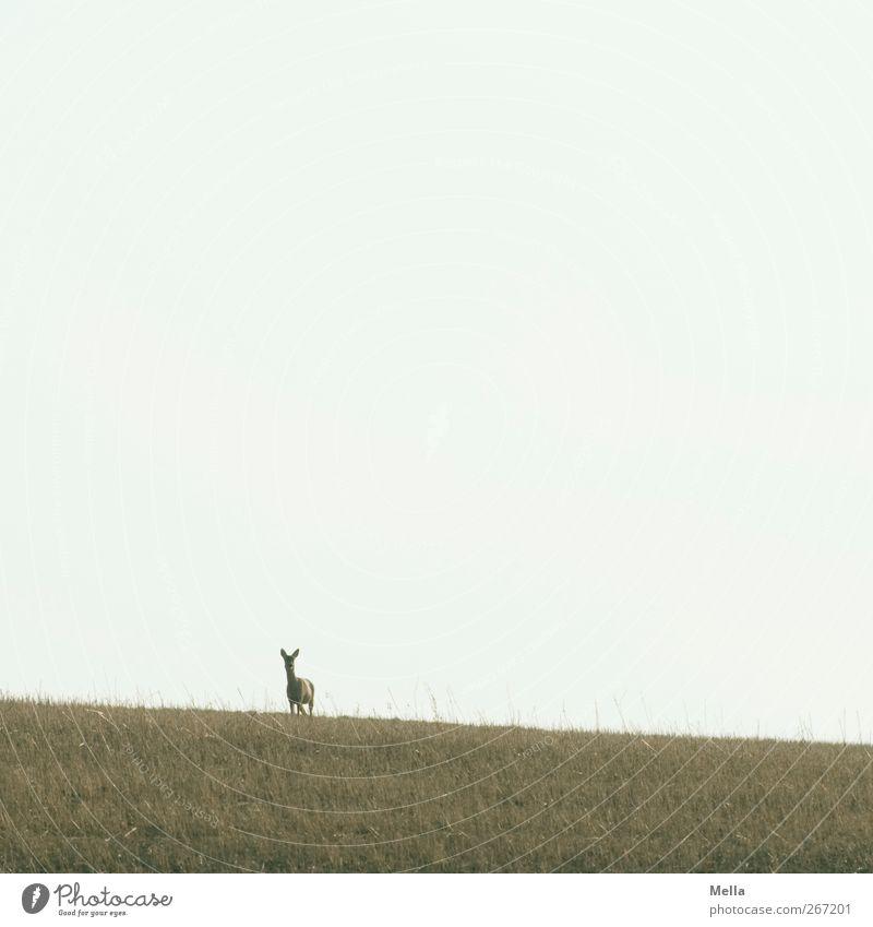 Schiefe Bahn Natur Tier Umwelt Landschaft Wiese Freiheit Feld Wildtier natürlich frei stehen Neugier Wachsamkeit Reh