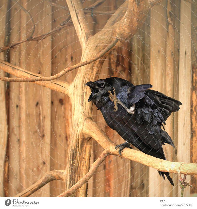 Waaas?!? Natur Baum Tier schwarz Holz Vogel braun Wildtier Flügel Ast hören Zoo schreien Schnabel Krallen kratzen