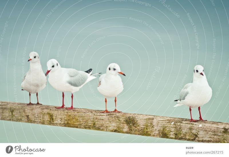 Vier gewinnt Umwelt Natur Tier Urelemente Luft Himmel Wildtier Vogel Flügel 4 Tiergruppe Holz stehen warten kalt klein lustig niedlich weiß Möwe Geländer