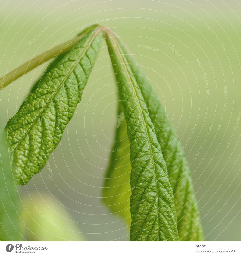 kastanie Umwelt Natur Pflanze Baum Blatt Wildpflanze grau grün Kastanienbaum Kastanienblatt Blattadern Blattgrün frisch Farbfoto Außenaufnahme Menschenleer