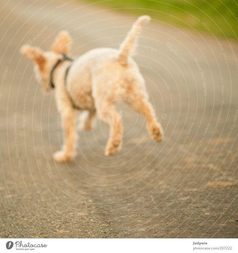 Sprung in die Unschärfe Umwelt Natur Frühling Sommer Herbst Feld Landweg Tier Haustier Hund Pudel Jagd laufen rennen Spielen frei niedlich gelb Gefühle Freude