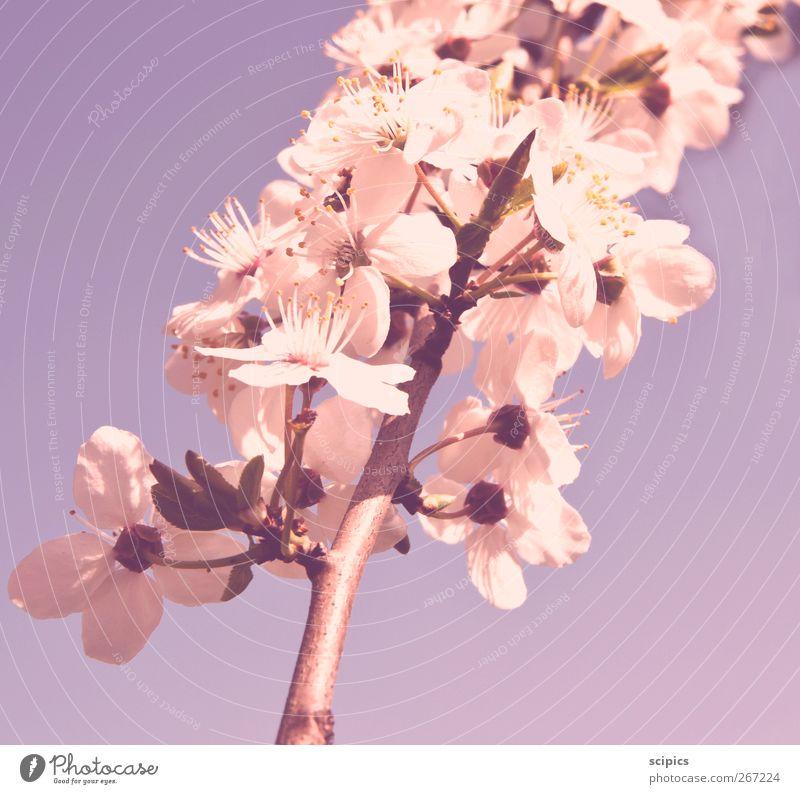 Blüten Himmel Natur Stadt schön Baum Pflanze Freude Leben Gefühle Frühling Garten Park rosa frisch Fröhlichkeit
