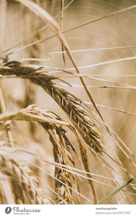 Bio Weizen Anbau Natur Gesunde Ernährung Gesundheit Lebensmittel Wachstum authentisch Blühend berühren Backwaren harmonisch Ernte Bioprodukte Getreide