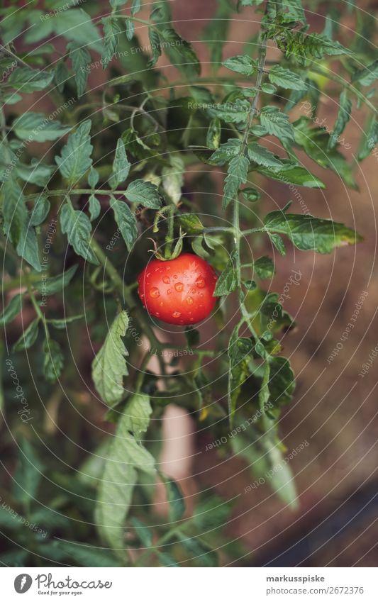 Frische Bio Tomaten Lebensmittel Gemüse Tomatenplantage Picknick Bioprodukte Vegetarische Ernährung Diät Fasten Slowfood Italienische Küche Lifestyle Gesundheit