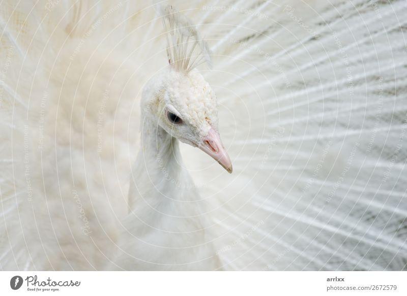 Porträt eines weißen Pfaus schön Umwelt Tier Nutztier Vogel 1 Gefühle Hintergrund Schnabel dramatisch Auge Feder intensiv Vogelmännchen offen weißer Pfau