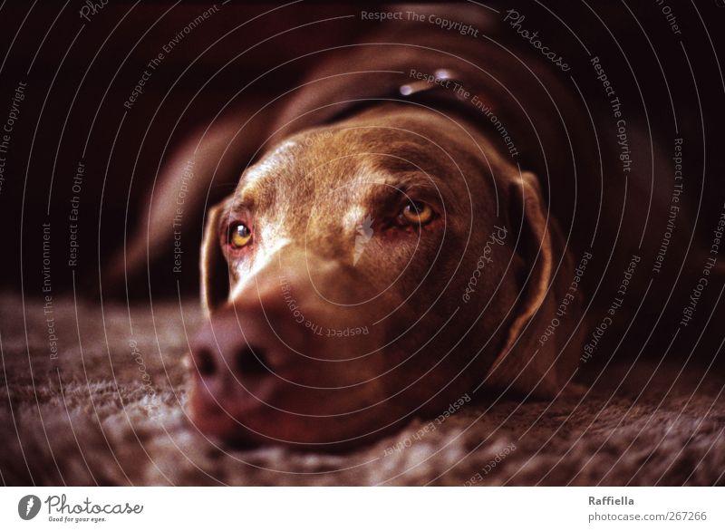 träumer I Hund Tier Auge träumen braun liegen Nase Fell Tiergesicht Haustier Teppich Halbschlaf Halsband