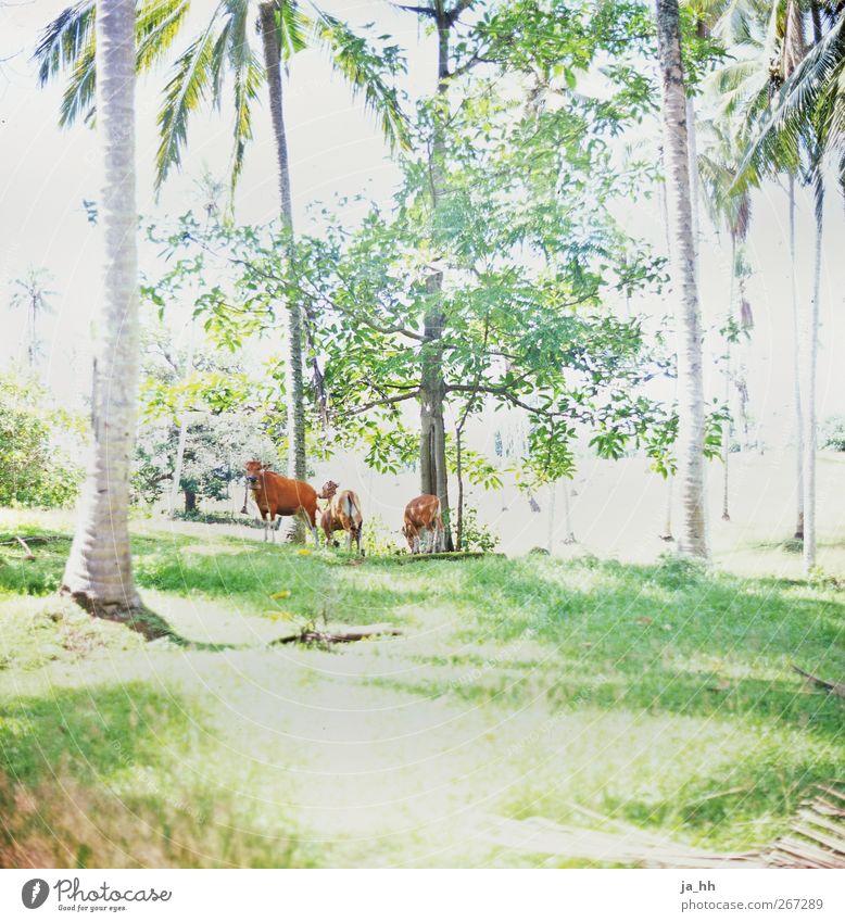 Nutztiere Natur Ferien & Urlaub & Reisen Ferne Wald Wiese Gras braun Schönes Wetter Asien Weide exotisch Urwald Kuh analog Palme Fleisch