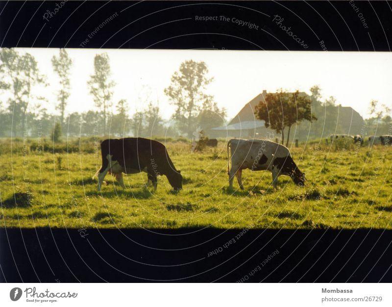 Wachhunde Kuh Wiese Abenddämmerung Ebene Verkehr schwarzbunt