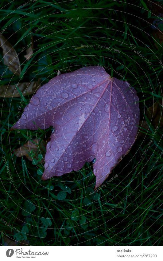 Ahornblatt in violett Natur Pflanze Wassertropfen Herbst Gras Blatt ästhetisch authentisch grün Farbfoto Außenaufnahme Textfreiraum oben Textfreiraum unten Tag