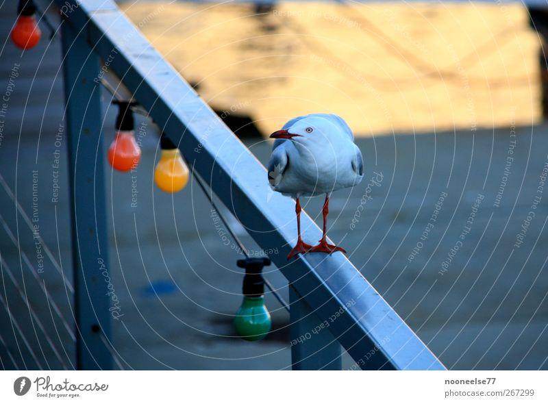 Möwe auf Geländer in Australien Tier Stimmung Vogel beobachten Misstrauen Unglaube
