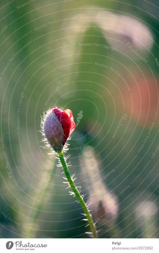 mal wieder Mo(h)ntag Natur Sommer Pflanze schön grün rot Blume Leben Umwelt Blüte natürlich klein grau frisch Feld Wachstum