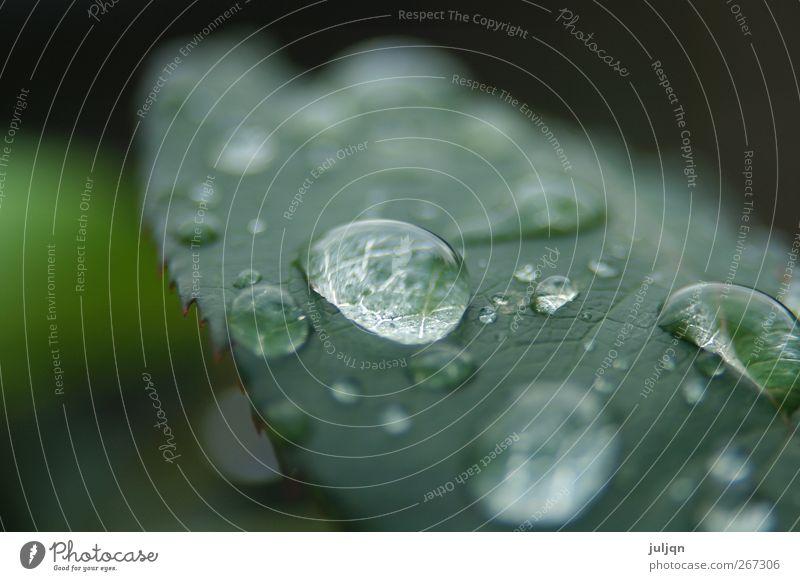 Herbstmorgentau Garten Natur Wassertropfen Pflanze Rose Blatt frisch nah nass rund saftig grün Farbfoto Außenaufnahme Makroaufnahme Menschenleer