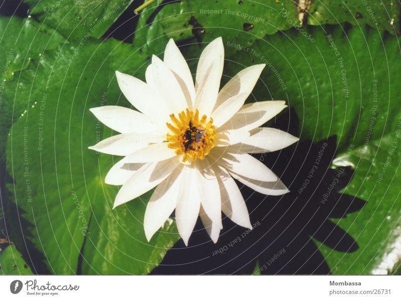 Lotusblüte in Blättermantel weiß Blüte Seerosen Lotos Wasserpflanze