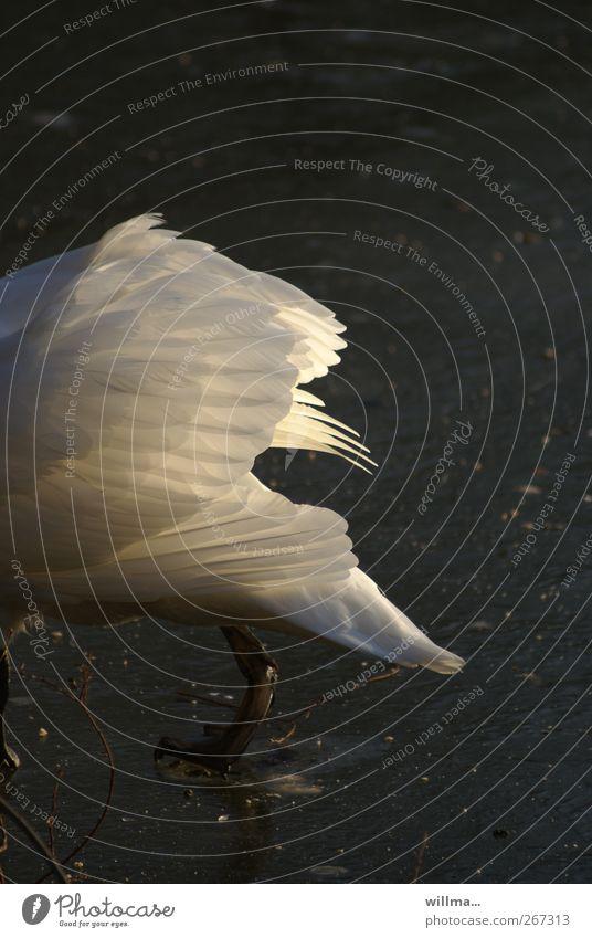 nich ganz im bilde weiß Winter Tier schwarz Beine Eis gehen Wildtier Frost Flügel Feder Hinterteil Teich Schwan gefiedert ignorant