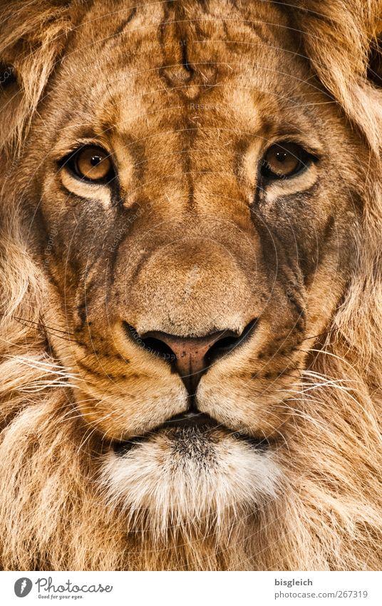 Löwe Tier Wildtier Tiergesicht Zoo Löwenmähne Auge 1 Blick wild weich braun Kraft Willensstärke Macht Mut Stolz Farbfoto Außenaufnahme Menschenleer Tag