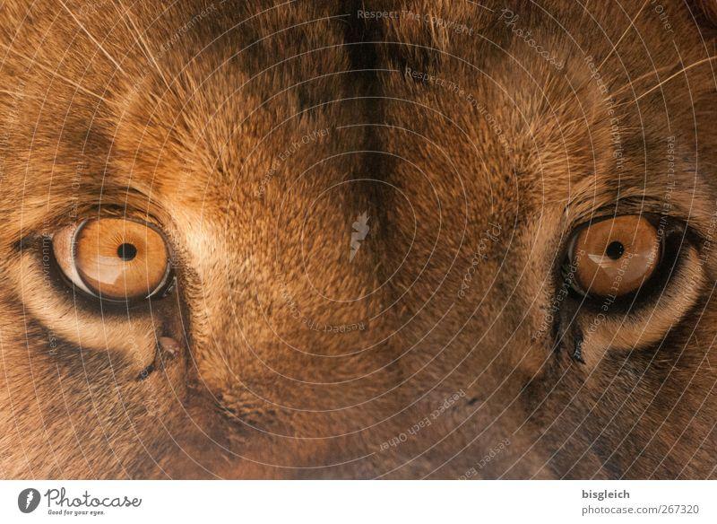 Löwenaugen Tier Wildtier Tiergesicht Zoo Auge 1 Blick braun Kraft Willensstärke Macht Mut Tatkraft Neugier geheimnisvoll Farbfoto Außenaufnahme Menschenleer Tag