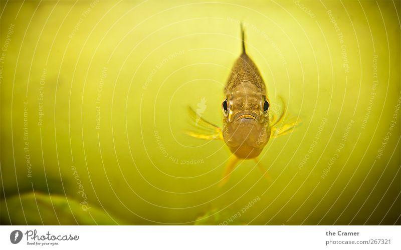 Senor Barsch Natur Wasser grün Tier gelb Küste See Schwimmen & Baden gold glänzend Wildtier außergewöhnlich Fisch Coolness beobachten Tiergesicht