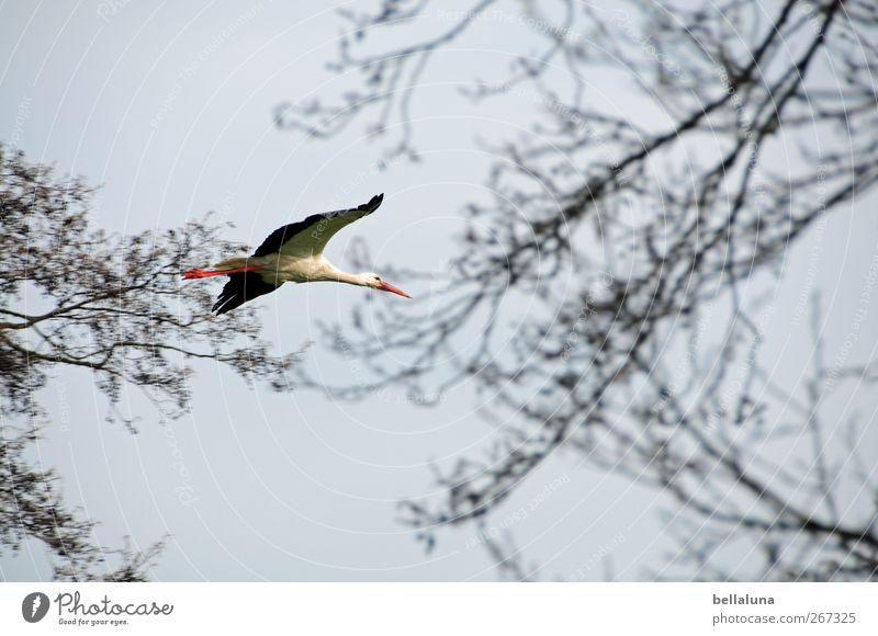 Mein Arbeitgeber Natur Himmel Wolkenloser Himmel Pflanze Baum Sträucher Wildpflanze Tier Wildtier Vogel Flügel 1 fliegen rot schwarz weiß Storch Umweltschutz