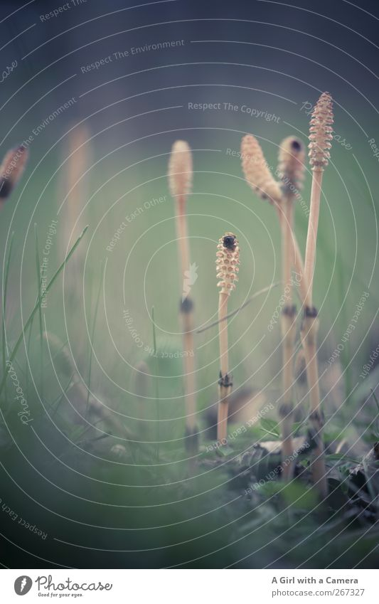 lying low Natur Pflanze Umwelt Frühling dünn Morgendämmerung Pilz Schachtelhalm Morcheln