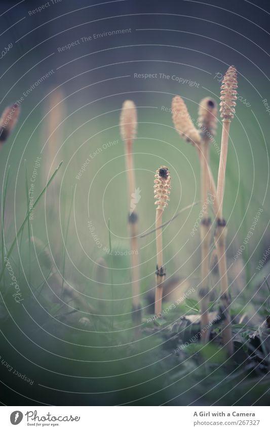 lying low Umwelt Natur Pflanze Frühling Morcheln dünn Schachtelhalm Gedeckte Farben Außenaufnahme Nahaufnahme Detailaufnahme Menschenleer Textfreiraum rechts